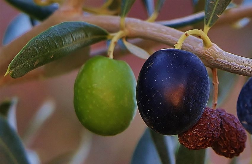 Karaman'da zeytincilik